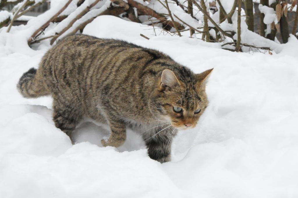 Wildkatze im Schnee    Foto: Nationalpark Thayatal, Christian Übl